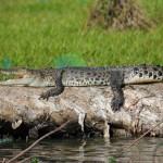 A saltwater crocodile slums it in the warm sun.