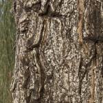 The desert oak has deeply ribbed bark.