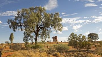 The Oak Of The Desert