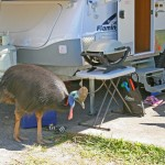 After severe tropical cyclones stripped the rainforests of the cassowaries' food supply, many began foraging at caravan parks and picnic areas to survive.