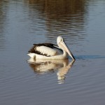 A pelican at Mundawerra Waterhole - Diamantina National Park, Qld
