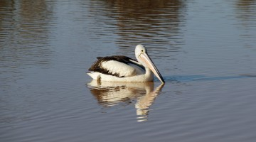 Pelicans – Always A Favourite