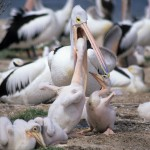 Baby pelicans being fed - Peel Inlet (near Mandurah), WA