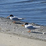 A pair of Fairy Terns on a sandbar in the Swan River. Males and females look very similar.