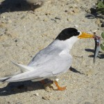 A Fairy Tern returns to the nest with a fish.