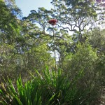 It is easy to spot the towering Gymea Lily in the bush.