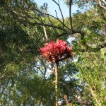 The flower heads are among the treetops, up to 6m above the ground.