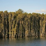 You can even find mangroves in capital cities. These ones are beside the Parramatta River in Sydney.