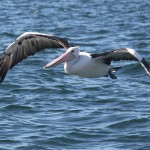 Pelican - Oyster Harbour - Albany, WA