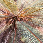 Ancient cycads are a feature of the Litchfield landscpae