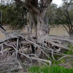 Red River Gums withstand the ravages of time and tide for centuries