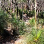 The trail descended the escarpment through a forest of grass trees