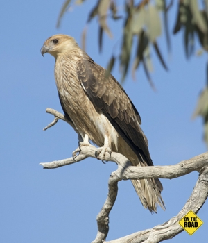 Whistling kite at Cuttaburra crossing