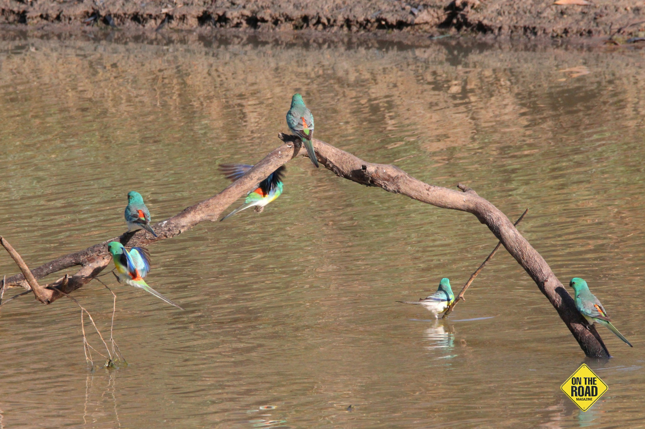 Parrots enjoying the cool of the river
