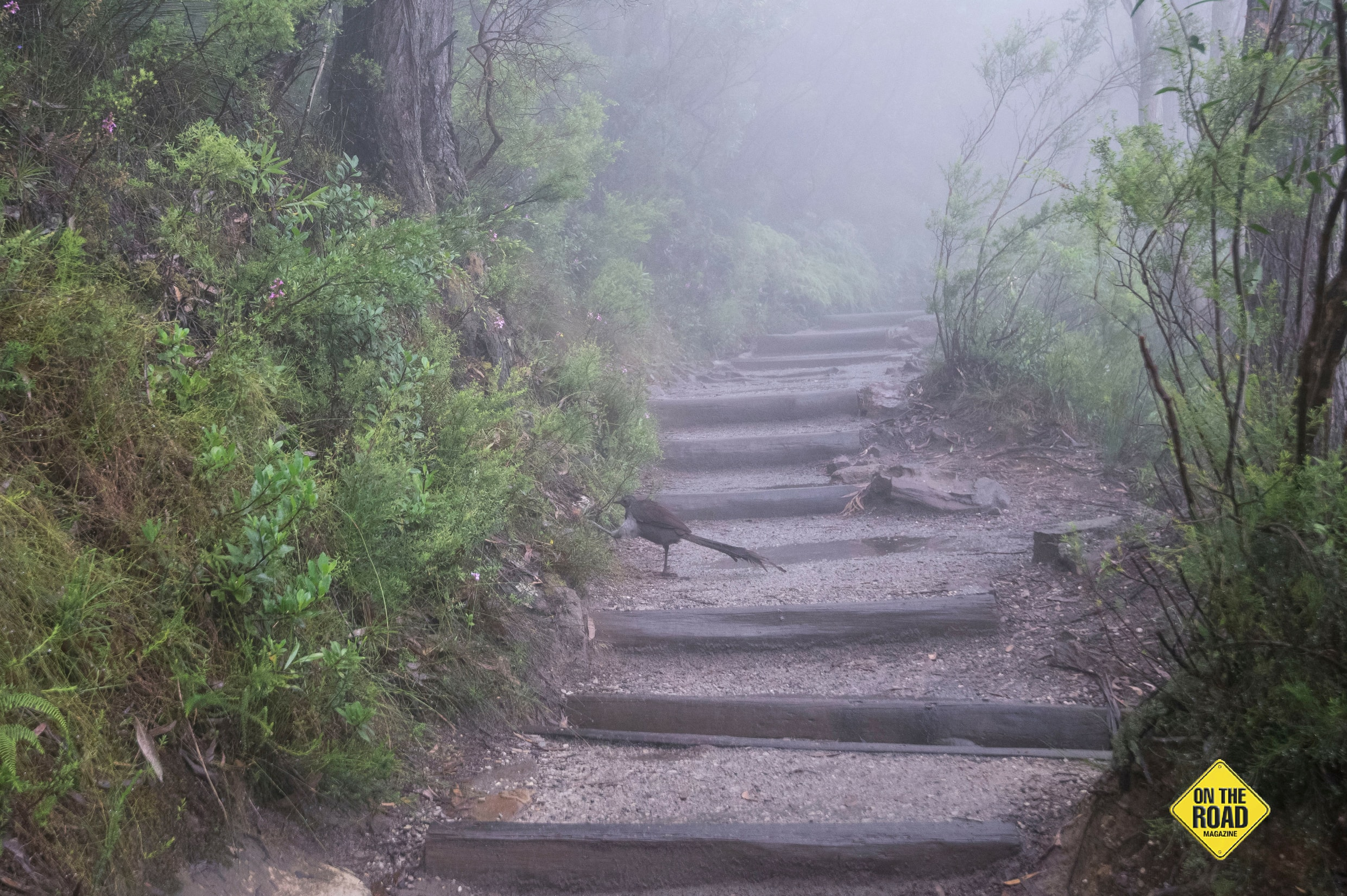 Lucky walkers may encounter a lyrebird scratching in the leaf litter as they make their way through the fog
