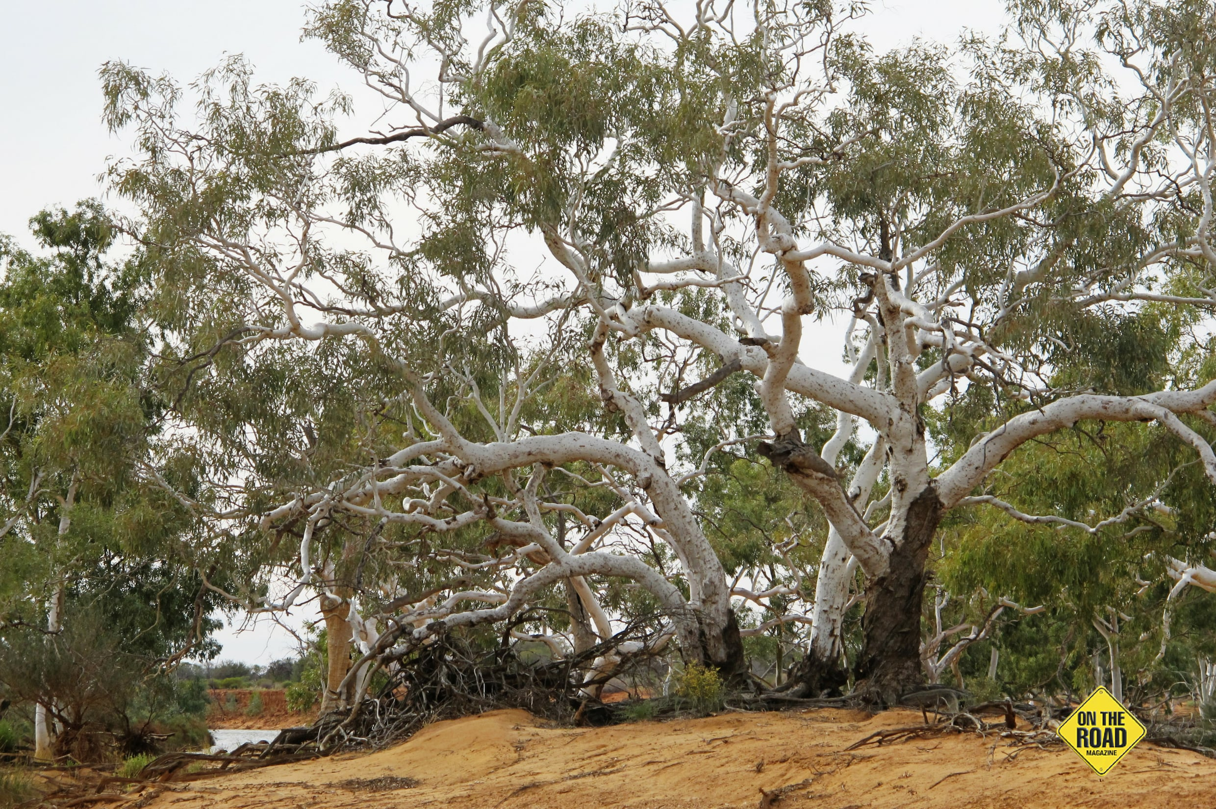 River gums at Wooleen