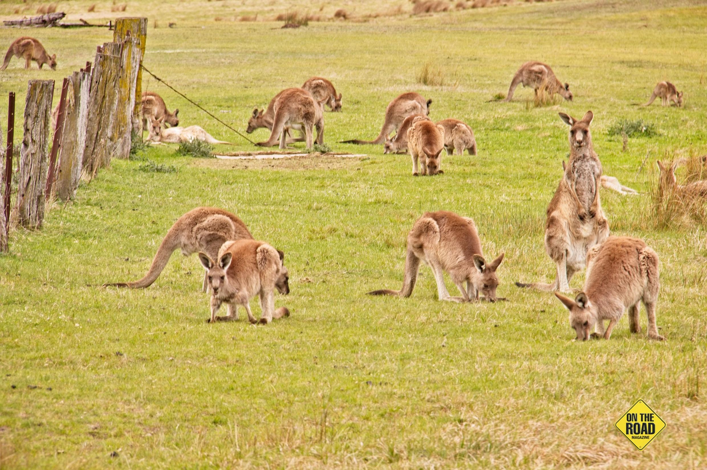 Many kangaroos