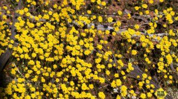 Exploring Western Australia's Wildflower Hotspots