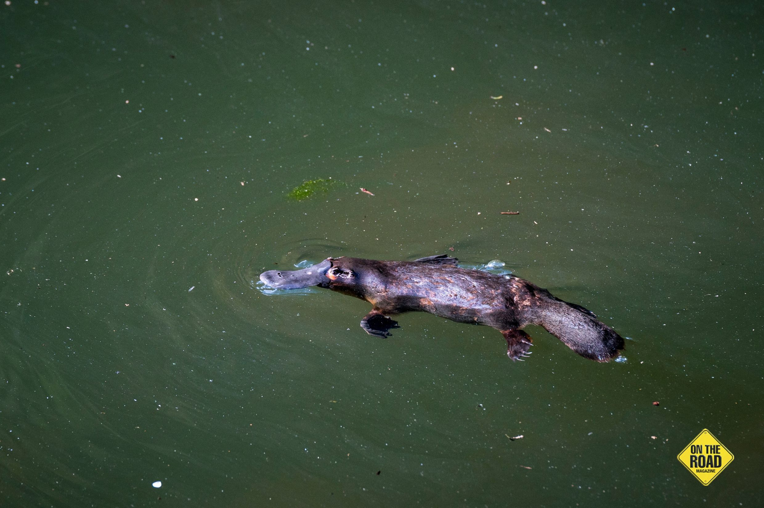 Platypus thrive in the Tablelands' deep, cool creeks.